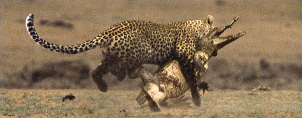 Leopar Timsahı yiyor