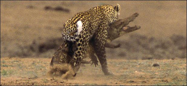 leopar timsahı yer 2