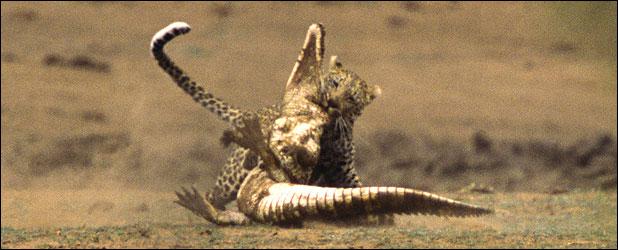 leopar timsahı yer 3