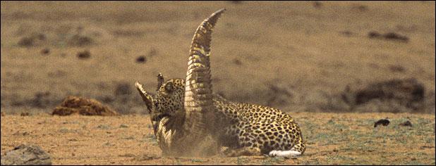 leopar timsahı yer 4