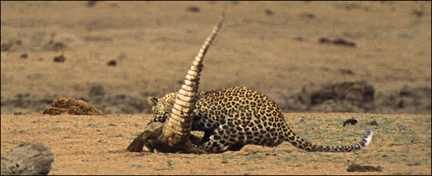 leopar timsahı yer 5