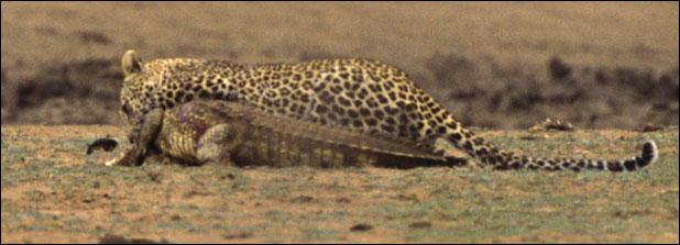 leopar timsahı yer 6