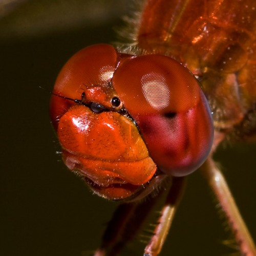 Kırmızı sinek
